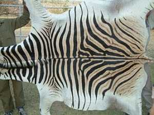 What Are The Advantages Present In Zebra hide rug?